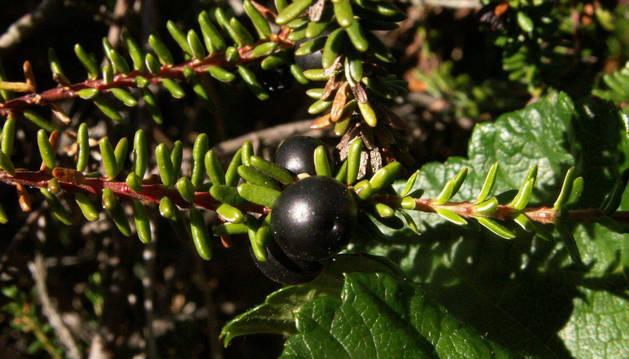 Foto de un ejemplar de Empetrum nigrum hermaphroditum.