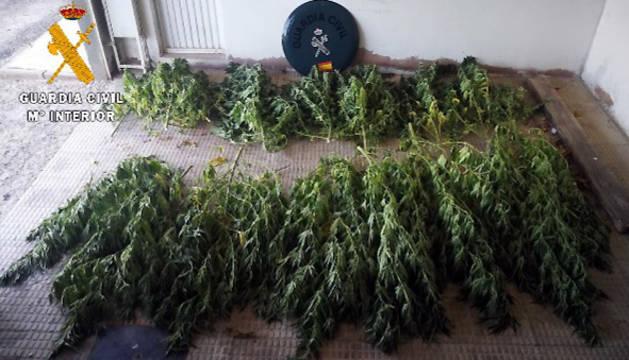 Foto de las plantas incautadas por la Guardia Civil.