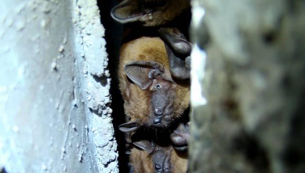 Foto de nóctulos medianos, ocultos en la grieta de un edificio.