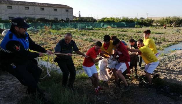 Imagen del momento en el que la vaquilla fue capturada.