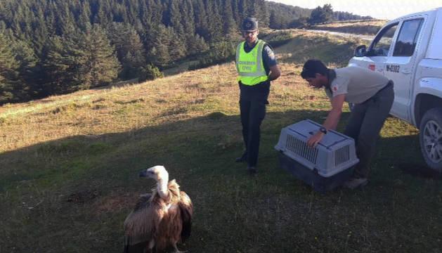Rescatada una cría de buitre en la carretera NA-140 (Isaba-Ustarroz)