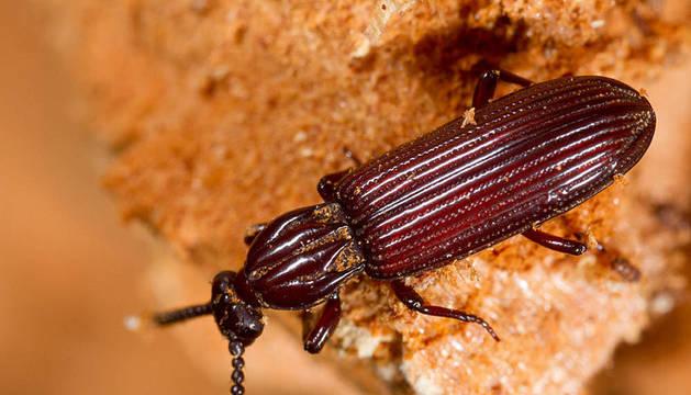 'Rhysodes sulcatus'