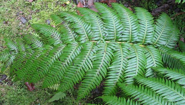 Una hoja de Woodwardia radicans.