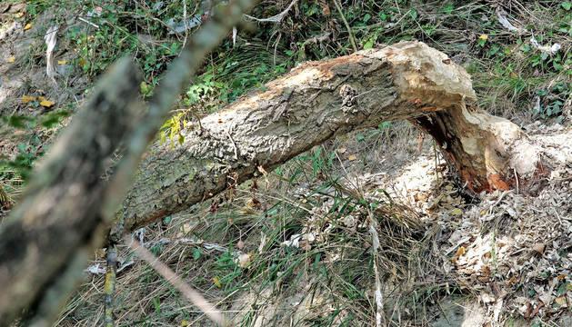 Ejemplar del árbol derribado por los castores y que alcanzó la zona peatonal del paseo, junto al Grupo Urdánoz de Echavacoiz.