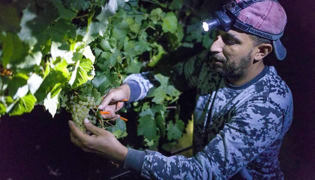 Todas las fotos de la vendimia nocturna de uva chardonnay que se realizó en la Finca Albret en Cadreita