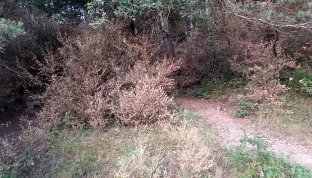Foto de varios arbustos de boj secos en término de Zubiri que hace dos semanas estaban verdes.