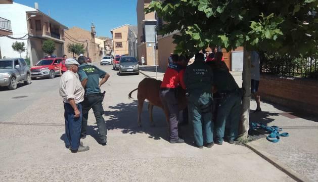Capturan a una ternera que se había escapado en Mendavia.