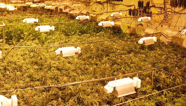 Tres detenidos, dos imputados y 5.830 plantas de marihuana intervenidas en Navarra