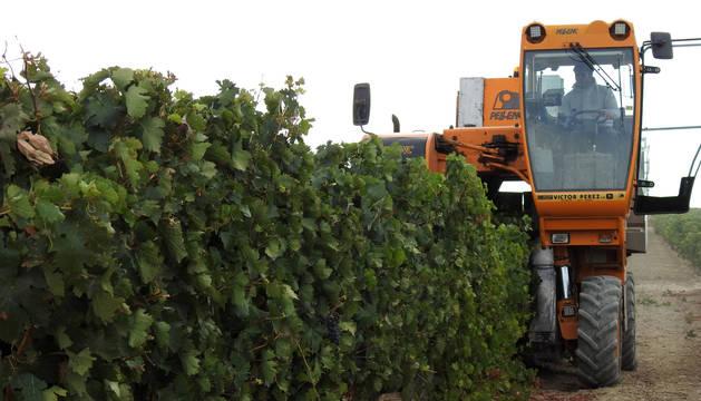 El azagrés Pedro Vidondo vendimiando en una viña de la localidad.