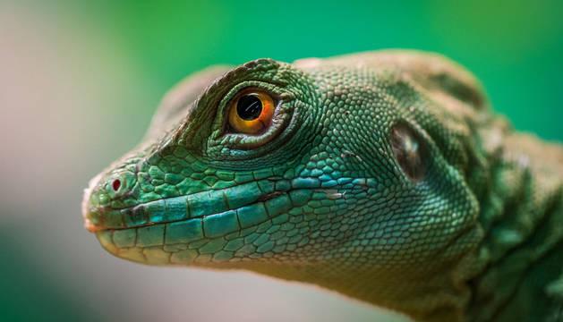 Foto de un gecko.