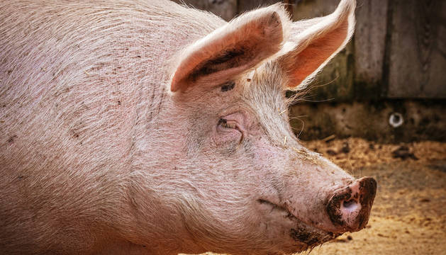 China cría cerdos gigantes del tamaño de