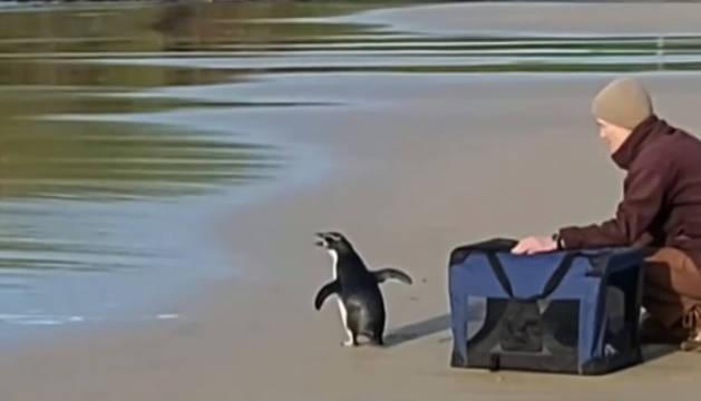 El pingüino que sobrevivió tras nadar 2.500 km