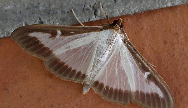 Foto de un ejemplar de la polilla del boj.
