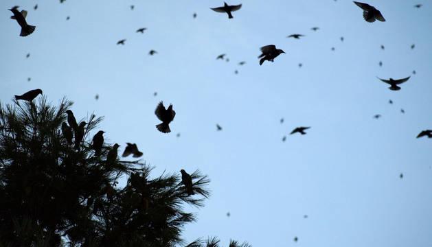 Unos 11.000 estorninos han utilizado como dormidero los 40 pinos situados en el perímetro del colegio público Alfonso X El Sabio, el objetivo es que se trasladen a las afueras.