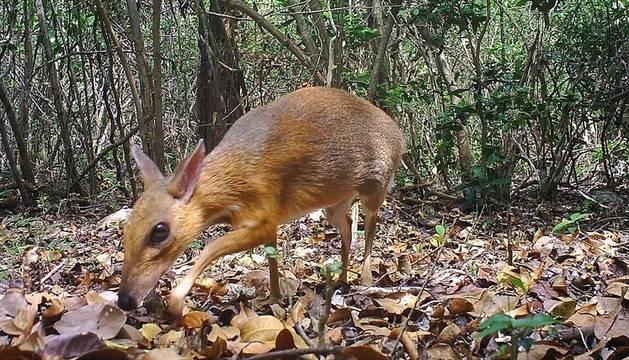 El ciervo ratón de Vietnam.