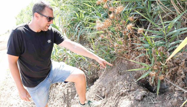 El agricultor Alejandro Zardoya muestra un agujero hecho por los conejos en Ribaforada el pasado mes de septiembre.
