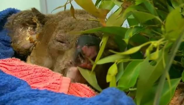 Imagen del koala Lewis, fallecido a pesar de ser rescatado de las llamas de los incendios que arrasan Australia.