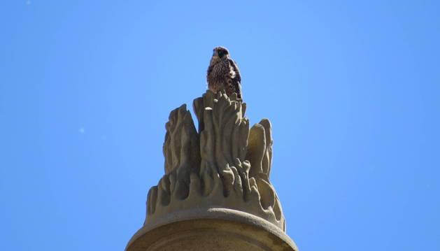 El halcón peregrino posado sobre un flamero en la catedral.