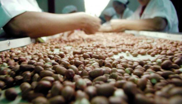 Obreros de una empresa seleccionan cacahuetes para su consumo.