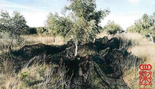 Foto de la red desplegada en el suelo para recoger frutos tras varearlos.