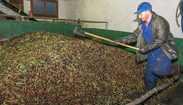 Foto del trujal Mendía la semana pasada, con las últimas entregas de oliva después de un mes de campaña.