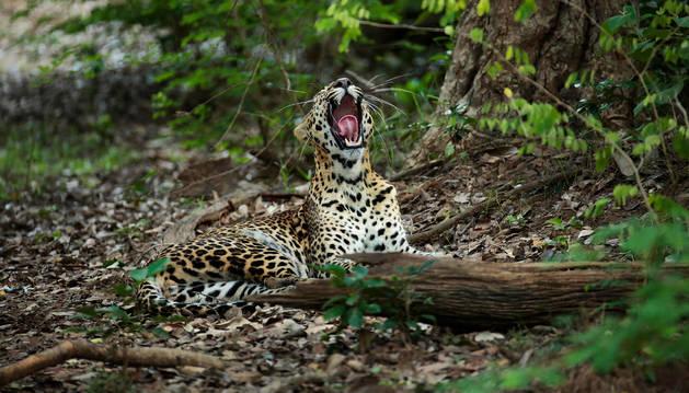 Un leopardo bosteza en una de las imágenes captadas por Andoni y Unai Canela para el proyecto Panteras.