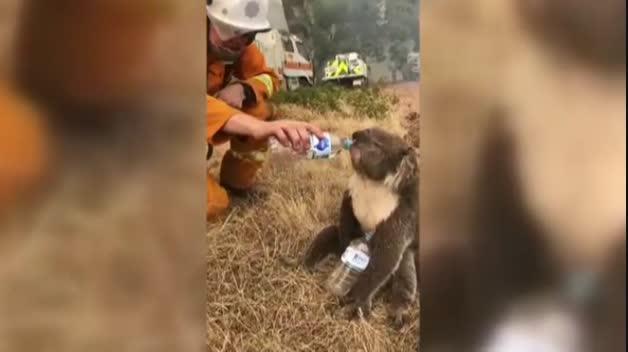 El momento en el que un bombero le ofrece agua a un koala se hace viral