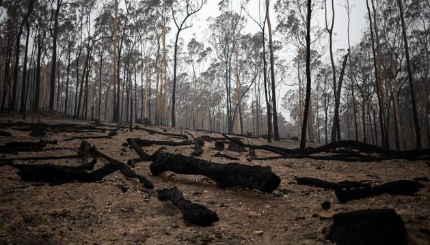 Troncos de árboles quemados en un incendio de Australia.