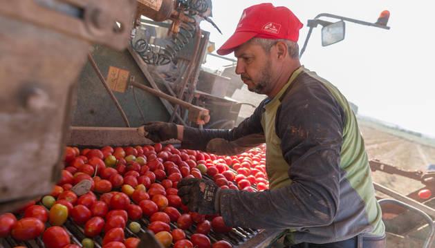 Foto de una persona seleccionando el tomate por tamaño en el momento de la recogida en el campo.