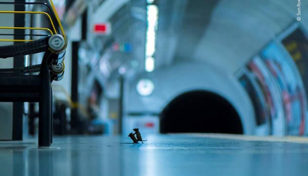 Foto facilitada por Wildlife Phtographer of the Year, tomada por Sam Rowley, de una pelea entre ratones en el metro de Londres.