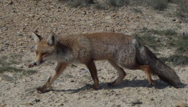 foto de Imagen de archivo de un zorro