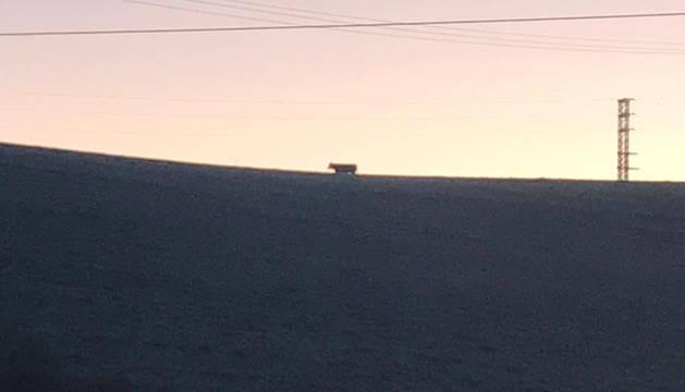 La vaca, en los campos cercanos a Salinas.
