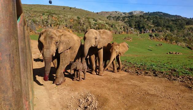 Foto de la nueva cría de elefante nacida en Cabárceno el 22 de febrero.
