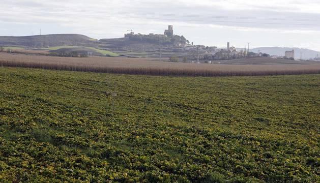 Plantaciones de la cooperativa de Artajona en las inmediaciones del pueblo con la localidad al fondo.