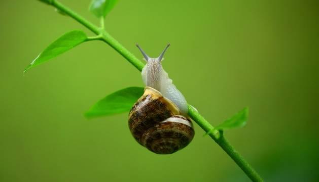 Un caracol se desplaza tratando de no caer de una rama