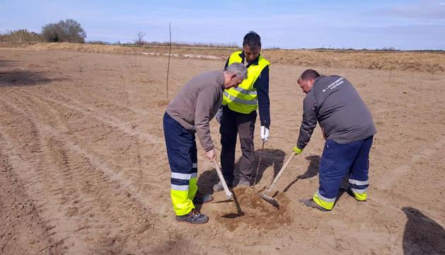 Imagen de la plantación de nogales en una de las parcelas municipales de Fustiñana.
