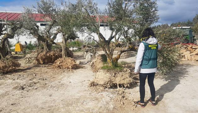 Recuperados varios olivos valorados en más de 1.800 euros robados cerca de Tafalla