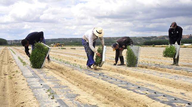 Foto de plantación de tomate para industria en un campo en el término de 'Soto Alto' en la localidad ribera de Funes.