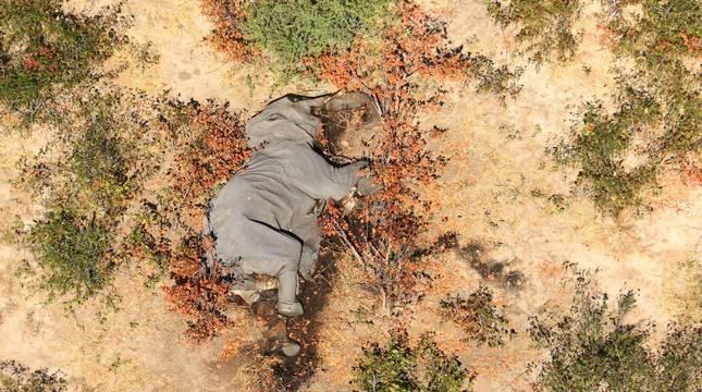 Uno de los elefantes fallecidos en Botsuana.
