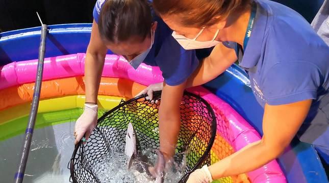 Momento del proceso de sexado y pesaje a una de las crías de tiburón gris en el Oceanográfico de Valencia.
