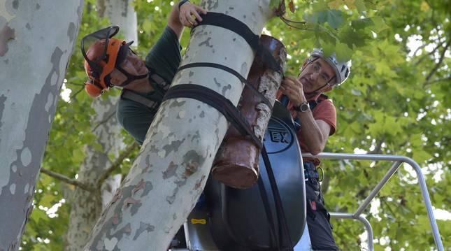 foto de Colocación de ramas huecas para refugio del nóctulo mediano en Pamplona, un murciélago en peligro