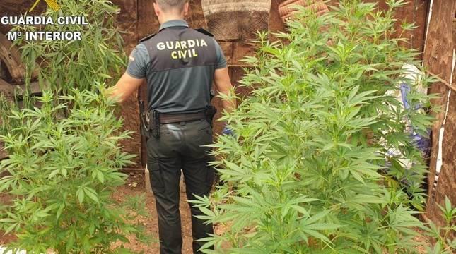 Un agente de la Guardia Civil, en una intervención con una plantación de marihuana.