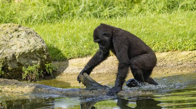 La gorila Virunga.