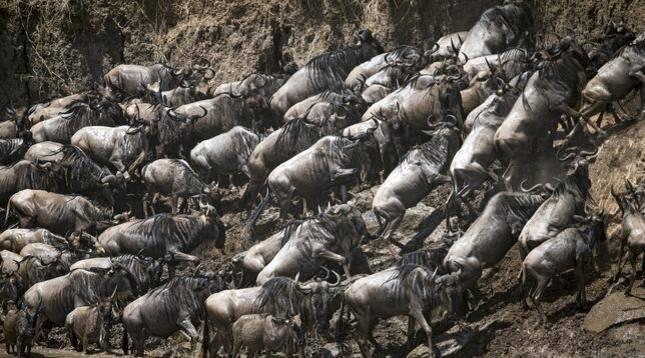 Una manada de ñus en el río Mara.