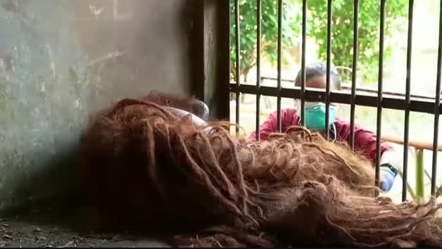 Rescatados de una muerte segura dos orangutanes en Indonesia