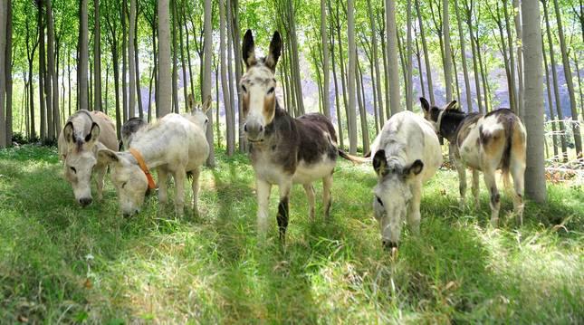 Foto de los burros que han llegado a la zona del Territorio Visón en Falces.