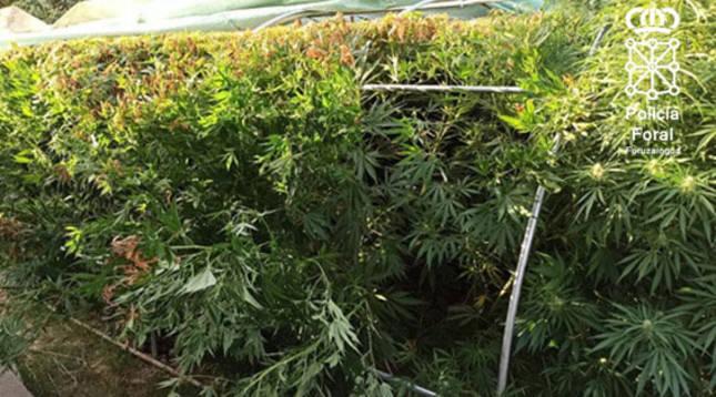 Foto de plantas de marihuana.
