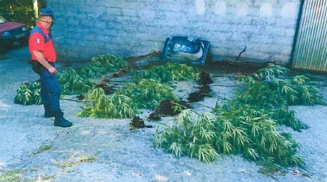 Foto de plantas de marihuana requisadas por la Policía Foral a un vecino de Lesaka.