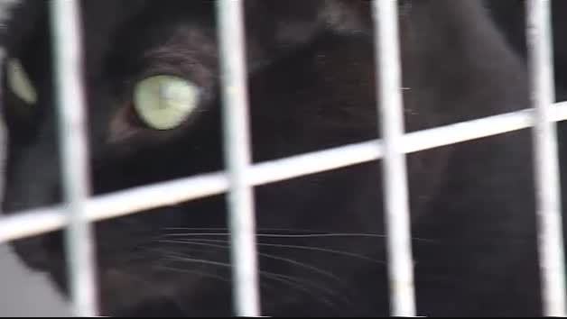 Vídeo: La pantera de Granada podría ser sólo un gato doméstico