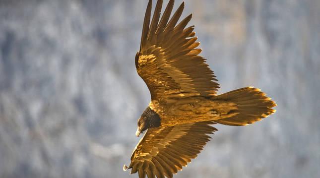 Foto de un pollo de quebrantahuesos en vuelo.